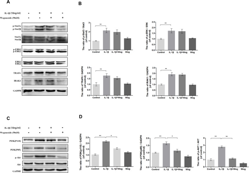 Effect of wogonoside on IL-1β-induced PI3K/AKT activiation (A-B) The protein expression of p-Stat3, Stat3, p-ERK1/2, ERK1/2, TRAF6 and IRAK1 in chondrocytes treated as above. (C-D) The protein expression of PI3K(p110), PI3K(p85), p-AKT and AKT in chondrocytes treated as above. The data in the figures represent the averages ± S.D. Significant differences between the treatment and control groups are indicated as **P