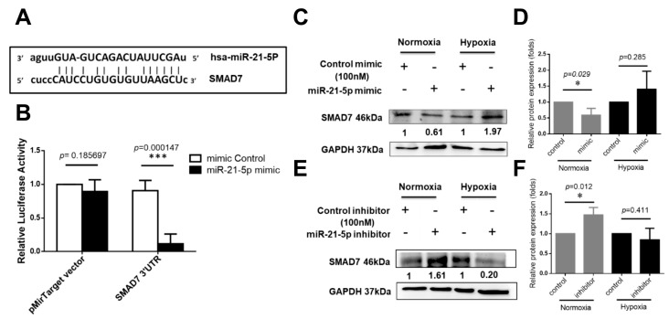 """SMAD7 is a direct target of hsa-miR-21-5p. ( A ) The <t>3′-UTR</t> sequences of SAMD7 is cloned at the 3′ end of luciferase reporter gene in the pMirTarget plasmid. The predicted binding site of hsa-miR-21-5p on the region of 3′-UTR sequence of SMAD7 (SMAD7 3′-UTR) was shown. The """"seed sequences"""" were indicated by lowercase; ( B ) Luciferase reporter assay. HEK293 cells were transfected with mimic-miR-21-5p or mimic control while transfection of pMirTarget plasmid or SMAD7 3′-UTR plasmid. *** p"""