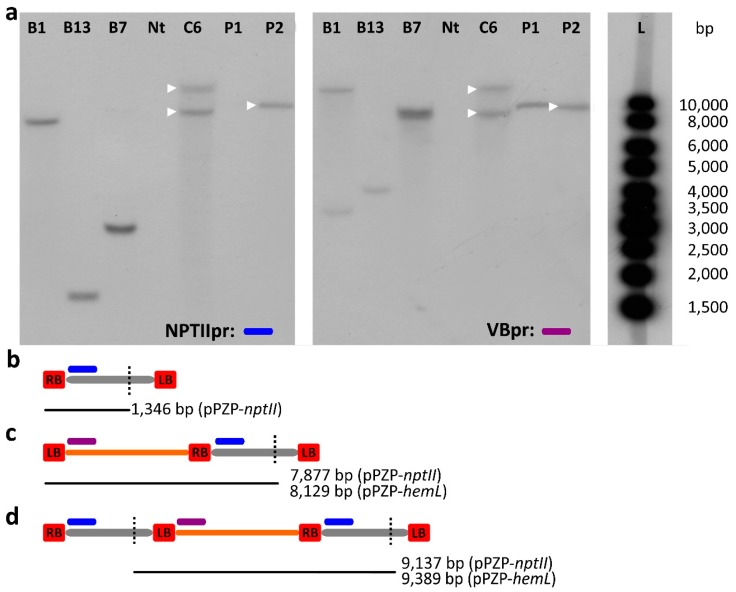 ( a ) Southern blot of genomic DNA extracted from T 1 B and C plants with probe NTPIIpr (blue segment) and VBpr (purple segment). The bands that hybridized to both probes are marked with a white triangle. Nt: non transgenic; P1: binary vector pPZP- hemL (linearized); P2: binary vector pPZP- nptII (linearized); L: 1 Kb ladder; ( b – d ) schemes (not in scale) of the restriction fragments produced by Nco I (black vertical dotted line) digestion ; ( b ) a canonical T-DNA processing; ( c ) wrong initiation at the LB and transfer of the whole VB along with a single copy of the T-DNA; ( d ) correct initiation at the RB and an incorrect termination at the LB, resulting in the transfer of the whole VB sequence along with two T-DNA copies. The position of the probes and of the restriction sites, and the length of the restriction fragments are indicated.