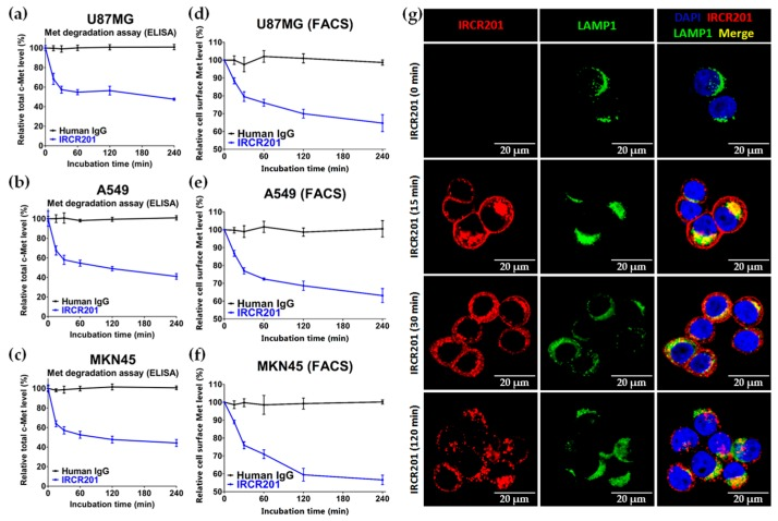 """Effect of IRCR201 on c-Met receptor internalization and degradation. ( a – c ) U87MG, A549, and MKN45 were treated with 100 nM IRCR201 or human IgG for the indicated durations and lysed. The level of total c-Met was measured by ELISA-based assay as described in the """"Materials and Methods"""" section; ( d – f ) After c-Met-positive cell lines were incubated with 100 nM of IRCR201 or human IgG for 30 min at 4 °C, the cell lines were incubated at 37 °C to induce internalization and degradation of the c-Met/IRCR201 complex. The residual levels of cell surface c-Met were detected by rabbit anti-c-Met antibody-conjugated Alexa Fluor ® 488 in which the epitope of IRCR201 does not overlap. The c-Met levels on the cell surface were measured based on the mean fluorescence intensity (MFI) and normalized to a value of MFI at 0 min; ( g ) MKN45 cells were treated with 100 nM IRCR201 at 37 °C. Thereafter, IRCR201 was allowed to internalize for up to 120 min at 37 °C. MKN45 cells were then stained with anti-human IgG-Alexa Fluor ® 647 to recognize IRCR201 and anti-LAMP1-Alexa Fluor ® 488 to detect lysosomes. The fluorescence images are visualized by confocal microscopy."""