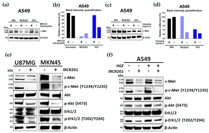 IRCR201 suppresses c-Met signaling pathway via the degradation of c-Met. ( a , b ) A549 cells were pre-treated with dimethyl sulfoxide (DMSO) or MG132 (5 μM)/lactacystin (5 μM) mixture for 2 h and incubated with 100 nM anti-c-Met antibodies (IRCR201 or 5D5) or phosphate-buffered saline (PBS). After 4 h of incubation, the c-Met degradation pattern was measured by Western blot analysis. The band intensities of c-Met were quantified by a Multi Gauge V3.0 program and normalized by the intensity of corresponding β-actin band; ( c , d ) A549 cells were pre-treated with DMSO or 100 nM concanamycin A for 2 h and subsequently treated with 100 nM anti-c-Met antibodies (IRCR201 or 5D5) or PBS for 4 h. The c-Met degradation pattern was evaluated by immunoblot analysis and analyzed by Multi Gauge V3.0 program; ( e ) Western blot analysis of c-Met, phospho-c-Met, Akt, phospho-Akt, Erk1/2, and phospho-Erk1/2 after 24-h treatment with IRCR201 (100 nM) or PBS in U87MG and MKN45; ( f ) Western blot analysis of c-Met, phospho-c-Met, Akt, phospho-Akt, Erk1/2, and phospho-Erk1/2 after 24-h treatment with IRCR201 (100 nM) or PBS in A549 in the presence or absence of HGF (50 ng/mL).