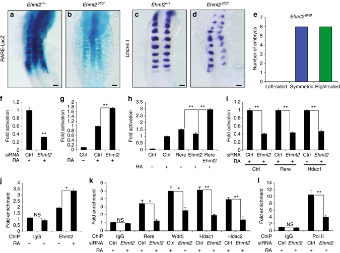 Ehmt2 controls retinoic acid signaling and symmetric somite formation. a , b RARE-LacZ activity in control Ehmt2 +/+ a and Ehmt2 gt/gt b embryos at E8.75-E9.0 ( dorsal views ). c , d In situ hybridization for Uncx4.1 in wild-type Ehmt2 +/+ c and Ehmt2 gt/gt d embryos at E8.75-E9.0 ( dorsal views ). e Graph representing the number of 7- somite to 15-somite stage Ehmt2 gt/gt embryos with left-sided ( orange ), symmetric ( blue ), or right-sided ( green ) delay in somite formation. f – i RARE-Luciferase activity from NIH3T3 cells treated with or without 1 µM RA for 20 h. f Cells treated with siRNA for Ehmt2 ( n = 4). g Cells transfected with an Ehmt2 expression plasmid ( n = 4). h Cells co-transfected with Rere and Ehmt2 expression plasmids ( n = 4). i Cells overexpressing Rere or Hdac1 and treated with siRNA against Ehmt2 ( n = 4). j ChIP of the Rarβ promoter with a specific antibody for Ehmt2 using NIH3T3 cells treated or not with 1 µM RA during 1 h ( n = 3). k , l ChIP analysis of the Rarβ promoter in NIH3T3 cells transfected with siRNA for Ehmt2 and treated with 1 µM RA during 1 h. ChIP was performed with antibodies specific to Rere, Wdr5, Hdac1, and Hdac2 k or Pol II l ( n = 3). In all graphs data represent mean ± s.e.m. NS—not significant, * P