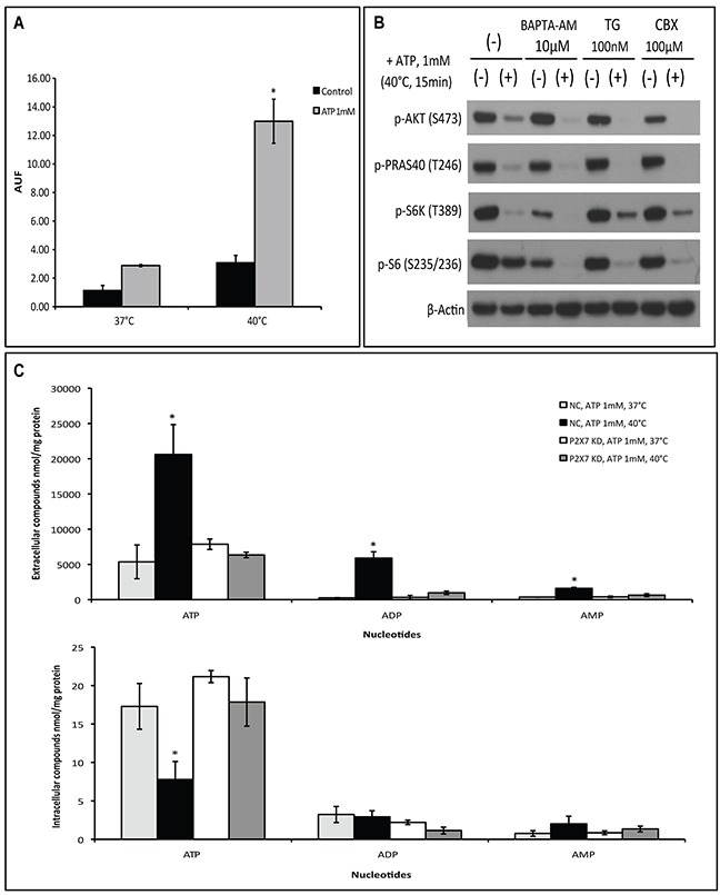 Hyperthermia increases ATP-tumor killing activity by enhancing P2X7 pore formation independently of Ca 2+ influx and pannexin/connexin interaction (A) P2X7 functionality upon ATP/hyperthermia treatment measured by etidium bromide (EtBr) uptake. Cells were left untreated or treated with ATP (1 mM) for 15 min at 37°C or 40°C, followed by whole cell fluorescence measurement (AUF), as described in Material and Methods. (B) Cells were pre-incubated with BAPTA-AM, thapsigargin (TG) or Carbenoxolone (CBX) prior to heat-ATP pulse treatment, followed by western blot analysis of AKT/PRAS40/mTOR signaling pathway. Cells treated with media served as control. (C) NC (negative control) and P2X7 KD (P2X7-deficient) cells were exposed to ATP for 15 min at 37°C or 40°C and extracellular and intracellular adenine nucleotide levels were determined by HPLC. *p