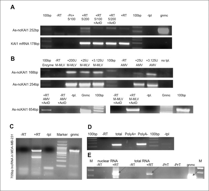 KAI1 as-lncRNA; analysis via RT-PCR (A) Products obtained in the presence of actinomycin D in the RTase reaction. Total MDA-MB-231 RNA has been reverse transcribed with M-MLV RTase with/without 50ng/μl Actinomycin D, followed by PCR amplification after dilution of Actinomycin D to 2.5 ng/μl (5/100) or 1.25ng/μl (5/200). (B) Dependence on particular RTase? Total MDA-MB-231 RNA was reverse transcribed with either M-MLV RTase or AMV RTase, and a transcript specific RT-primer (upper) or hexamers (lower), followed by PCR with Hot start Taq-Polymerase. (C) 5' end mapping. MDA-MB-231 RNA treated by DNase and periodate was reverse transcribed with specific RT5 primer (+RT). PCR amplification led to 705 bp product. (D) 3' end polyadenylation? Polyadenylated MDA-MB-231 RNA was pulled down with magnetic beads, while polyA minus-RNA remained in the flow through fraction. Both fractions and total RNA were reverse transcribed with KAI1 as-lncRNA specific primer. PCR amplifies a 168 bp product. (E) nuclear localization MDA-MB-231 RNA (2ug nuclear or total RNA fraction) was reverse transcribed with KAI1 as-lncRNA specific primer in presence (+RT) or absence (−RT) of RTase. 317 bp amplified PCR product indicated with an arrow. Abbreviations: –RT= no RT enzyme. –Primer/ -Pri (+)= no primer in RT reaction. –PrN = no primer in nuclear RNA fraction; -PrT=no primer in total RNA fraction. +RT= with RT enzyme. –tpl= no template. +ActD= 50ng/ μl Actinomycin D in RT reaction. 100 bp= DNA ladder. M= DNA marker; gnmc= genomic DNA.