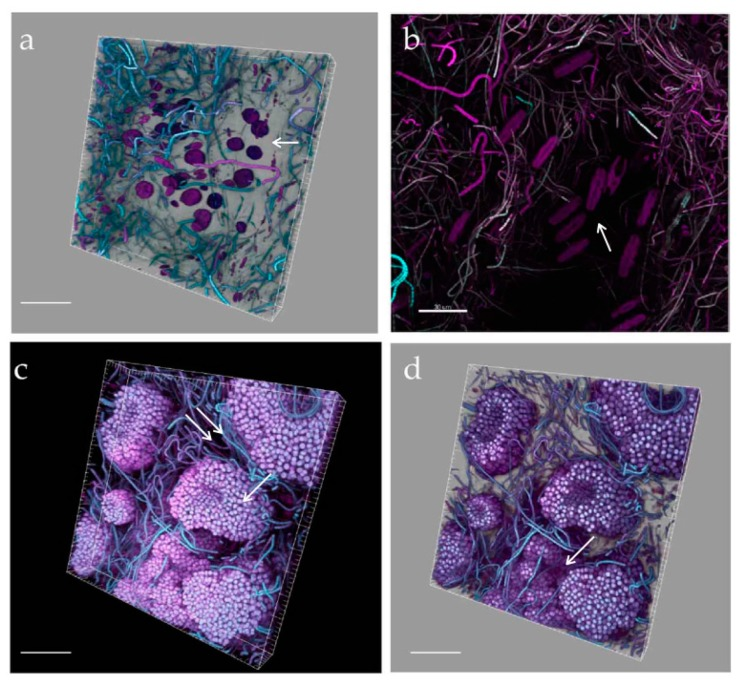 CLSM volume renderings ( a , c , d ), and 3D reconstruction ( b ) of biofilm at mature phases. Networks of diverse, more or less oriented, filamentous cyanobacteria lie close to clusters of Amphidinium cf. carterae cells, apparently excluding other biofilm organisms ( a, arrow ), and of large raphid diatoms ( b , arrow ). 3D renderings evidencing microcolonies of actively dividing coccal, colonial cyanobacteria ( c arrow ), forming channels ( c, double arrow ) and valleys ( d, arrow )). White signal was obtained with a 488-nm laser source, magenta and cyan colour codes using 543-nm and 635-nm laser sources, respectively. Bars = 40 µm.