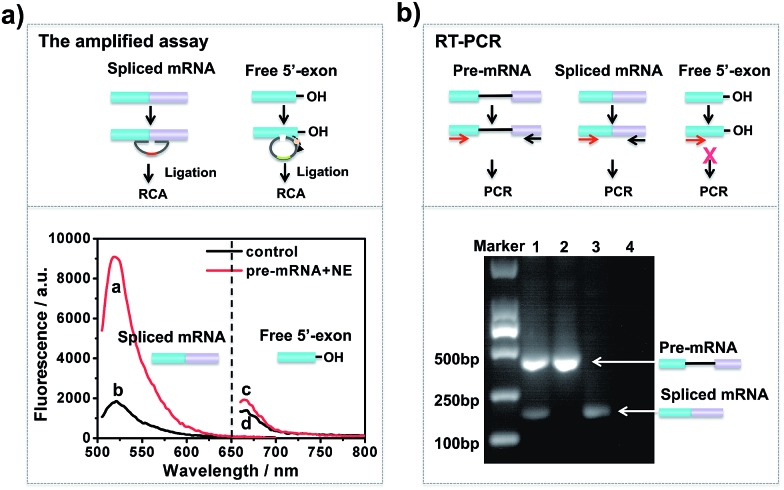 Comparison of the padlock probe-based isothermal amplification assay with the RT-PCR assay for detection of the two-step RNA splicing products. The major difference is that the amplified assay can be used for simultaneous detection of the intermediate and final products, while RT-PCR could not detect the intermediate products. (a) Fluorescence responses of the isothermal amplified assay under different conditions: in vitro splicing assays were conducted in the presence of NE (red curve) or absence of NE (black curve). The splicing products were analysed by the padlock probe-based isothermal amplified assay. (b) Gel electrophoresis of the RT-PCR products for in vitro RNA splicing: 40 pM CDC pre-mRNA was incubated in the presence of NE (lane 1) or absence of NE (lane 2) for 1 h at 30 °C under the conditions of in vitro RNA splicing; lane 3, spliced mRNA; lane 4, NE.