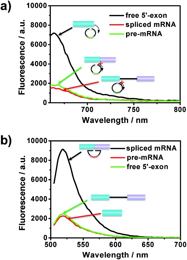 The specificity of the amplified assay for the detection of different RNA splicing products: (a) free 5′-exon and (b) spliced mRNA. Padlock probes 1 and 2 were incubated with 20 pM free 5′-exon, CDC pre-mRNA and spliced mRNA, respectively.