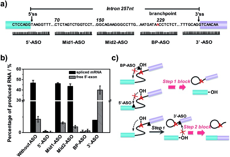 Effect of ASO binding sites on first- and second-step RNA splicing efficiency. (a) Diagrammatic representation of ASO targeting sequences (5′-ASO, Mid1-ASO, Mid2-ASO, BP-ASO and 3′-ASO). Numbering starts from the first position of intron 14. The 5′ss and 3′ss are indicated by vertical arrows. The branchpoint is indicated in red. (b) Fluorescence intensity of free 5′-exon and spliced mRNA produced in the splicing reaction by adding different ASOs. (c) Schematic diagram of the splicing block caused by ASOs binding different sites.