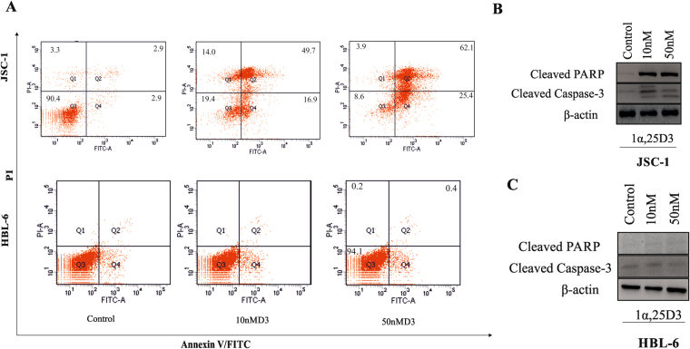 1, 25(OH)2 D3 induces apoptosis of PEL cells. PEL cells were cultured in the presence or absence of 1, 25(OH)2 D3 (10 nM). ( A ) After 48 h in culture, cells were washed and stained with Annexin V and PI and analyzed by flow cytometry. The numbers in the lower right quadrant represent the percent of apoptotic cells in culture. ( B and C ) . Cleaved <t>caspase-3,</t> and cleaved PARP expressions were detected by Western blot in JSC-1 and HBL-6 cells after treatment with 1, 25(OH)2 D3. β-actin was used to normalize protein loading.