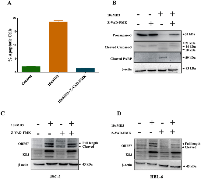 Effects of caspases inhibition by Z-VAD-FMK on apoptosis in PEL cells. JSC-1 cells were pre-treated with the caspase inhibitor Z-VAD-FMK (20 µM) for 2 h, followed by treatment with 10 nM 1, 25(OH)2 D3 for 24 h. ( A ) Cells were stained with Annexin V/PI, and apoptosis was determined using flow cytometry. Values for cells treated with DIM and Z-VAD-FMK were significantly reduced as compared to treatment with 1, 25(OH)2 D3 alone. Total protein extracts were prepared and subjected to Western blot assay for cleaved PARP and cleaved caspase-3 ( B ). Cell lysates collected 24 h after induction with the 1, 25(OH)2 D3 (10 nm) were immunoblotted with anti-ORF57 and anti K8.1 antibody. Effect of Caspase inhibitor on the expression of ORF57 or K8.1 in cells treated with 1, 25(OH)2 D3 alone or both 1, 25(OH)2 D3 and Z-VAD-FMK ( C and D ). β-actin was used to normaliz protein loading.