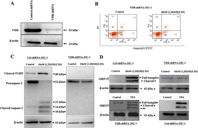 VDR knockdown inhibits KSHV reactivation. JSC-1 cells were transduced with lentiviral particles containing either scrambled shRNA or shRNAs directed against the human VDR transcript. ( A ) Western blot analysis of stably transduced cells shows near complete absence of VDR protein in JSC-1 cells. ( B and C ) Cell apoptosis was significantly decreased in JSC-1 cells with VDR knockdown as compared to control shRNA transduced cells. ( D ) Western blotting with anti caspase-3, anti ORF57 and β-actin antibodies of cell lysates of JSC-1 VDR KO cell line and JSC-1 Ctrl treated with 10 nM of 1, 25(OH)2 D3 and 20 ng/ml of TPA used as positive control.