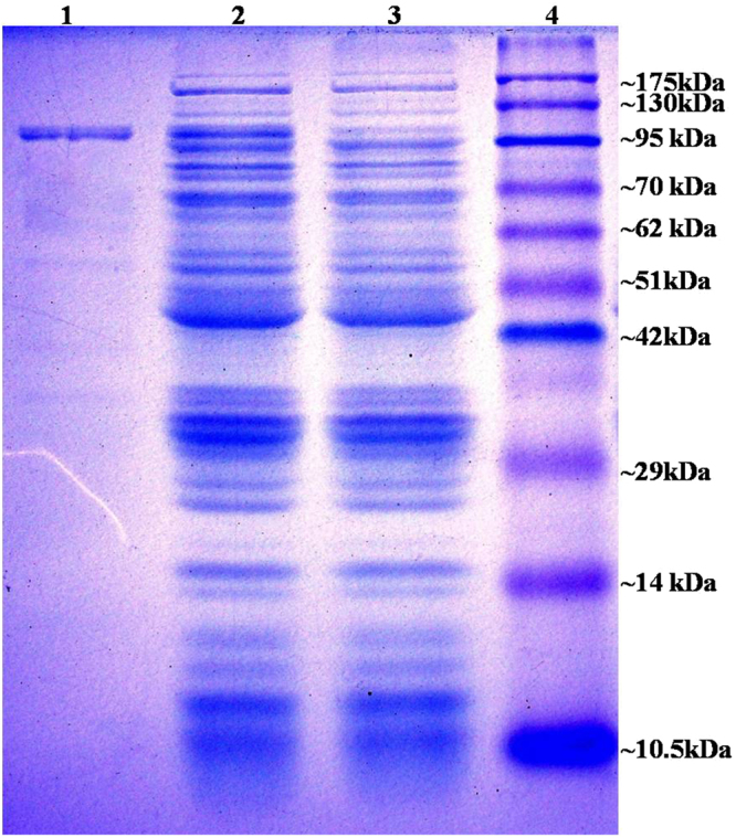 SDS PAGE (12%): Lane 1: purified BamA; lane 2, 3 induced and uninduced E. coli BL21 (pET28-a- bamA ), lane 4: pink plus protein marker.