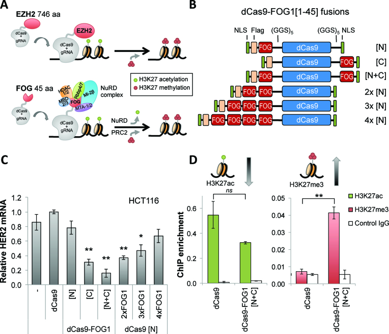 The novel transcriptional repressor FOG1[1–45]-dCas9-FOG1[1–45] tri-methylates H3K27 at the target promoter. ( A ) Models for two approaches of targeted H3K27 methylation mediated by dCas9-fusion proteins. Top: fusion of dCas9 to the enzyme Ezh2 directly tri-methylates H3K27 at the genomic target region. Bottom: fusion of dCas9 to subunits or interaction domains of endogenous co-repressor complexes, such as FOG1[1–45]-dCas9 that interacts with the nucleosome remodeling and deacetylase (NuRD) complex, recruits the NuRD complex to the target sites causing HDAC1/2-mediated H3K27 deacetylation, as well as facilitation of H3K27 tri-methylation through recruitment of the PRC2 complex. ( B ) Schematic of dCas9-FOG1[1–45] fusion proteins. Fusions to the N- and/or C-termini of dCas9 are labeled with [N] and/or [C], respectively. Arrays of two, three and four FOG1[1–45] repeats are fused to dCas9. NLSs, 3XFlag epitope tag and the 15-aa linkers [(GGS) 5 ] are indicated. ( C ) Relative HER2 mRNA was assessed in HCT116 cells co-transfected with a pool of three sgRNAs targeted to the HER2 promoter and the indicated dCas9-FOG1[1–45] fusions. Repressive activity was measured relative to Cas9 with no ED (Tukey-test, * P