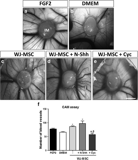 SHH pathway is active in WJ-MSC in vivo and enhances their pro-angiogenic properties. In vitro pretreated Wharton's jelly-derived mesenchymal stem cells ( WJ-MSC ) (+ N-Shh or Cyc) were applied on top of the chorioallantoic membrane ( CAM ) of chicken embryos. Treatment was repeated after 48 h in order to maintain the effect on SHH pathway modulation in WJ-MSC. The angiogenic response was evaluated after 96 h. Recombinant fibroblast growth factor 2 ( FGF2 ), a potent angiogenic stimulator, was used as a positive control ( a ), and ( b ) Dulbecco's modified Eagle's medium ( DMEM ) was used as negative control (WJ-MSC vehicle). c WJ-MSC seeded in Integra Matrix ( IM ). WJ-MSC seeded in Integra Matrix plus N-Shh ( d ) and Cyc ( e ). f Assay quantification. * P