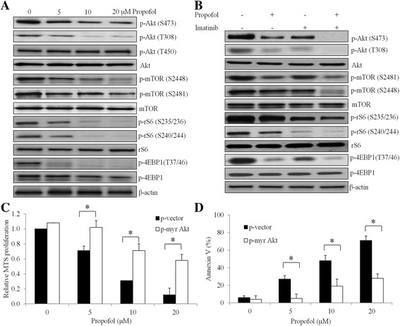 Propofol enhances imatinib's effects in CML cells by suppressing Akt/mTOR signaling pathway. Representative western blot images showing the inhibitory effects of propofol alone ( a ) and combination of propofol and imatinib ( b ) on phosphorylation of Akt, mTOR and S6 in K562 cells. Propofol at 5 μM and imatinib at 1 μM were used for combination studies. Overexpression of constitutively active Akt (myr Akt) significantly reverses the effects of propofol in inhibiting proliferation ( c ) and inducing apoptosis ( d ) in K562 cells. DMSO (final concentration 0.5%) was used as control. * p