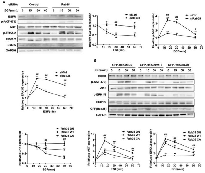 Rab35 activation promotes EGFR degradation and attenuates EGFR signaling. (A) HeLa cells were starved overnight and then treated with cycloheximide for 30 min, then stimulated with 10 ng/mL EGF for the indicated time. EGFR, p-Akt and p-ERK1/2 levels were detected by western blot. Data were presented as mean ± SD of 3 independent determinations. (B) Overexpression of different plasmids of Rab35 (Rab35 DN, Rab35 WT, and Rab35 CA) to detect EGF-induced EGFR degradation and its downstream signaling. * P