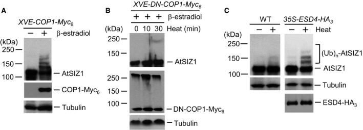 Heat‐induced At SIZ 1 modification is regulated by  COP 1 and  ESD 4 activity. (A) Transgenic  XVE ‐ COP 1‐Myc 6  plants were incubated in liquid medium with β‐estradiol to induce  COP 1 expression. After incubation for 15 h, the plants were treated with liquid  MS  medium preheated to 37 °C. Samples were collected after treatment for 30 min, and At SIZ 1 and  COP 1‐Myc 6  were detected by western blot analysis with anti‐At SIZ 1 or anti‐Myc antibodies. Tubulin was used as a loading control. (B) Transgenic  XVE ‐ DN ‐ COP 1‐Myc 6  plants were incubated in liquid medium with β‐estradiol to induce  DN ‐ COP 1 expression. After incubation for 15 h, the plants were treated with liquid  MS  medium preheated to 37 °C. Samples were collected after treatment for 0, 10, and 30 min, and At SIZ 1 and  DN ‐ COP 1‐Myc 6  were detected by western blot analysis with anti‐At SIZ 1 or anti‐Myc antibodies. Tubulin was used as a loading control. (C) Ten‐day‐old wild‐type and  ESD 4‐overexpressing transgenic plants grown in  MS  medium were treated with liquid  MS  medium preheated at 37 °C. After treatment for 30 min, total proteins were extracted and At SIZ 1 was detected by western blot analysis with anti‐At SIZ 1 or anti‐ HA  antibodies. Tubulin was used as a loading control.