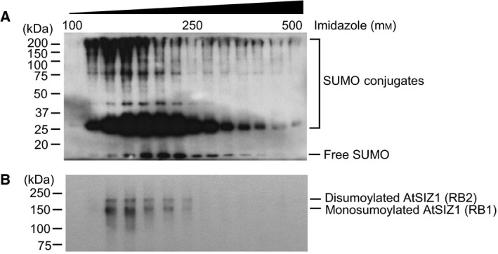 At SIZ 1 is monosumoylated or disumoylated  in vivo . (A)  SUMO  conjugates were purified from 10‐day‐old plants carrying  XVE ‐His 6 ‐ HA 4 ‐ SUMO 1  and detected by western blot analysis with an anti‐ HA  antibody. (B) The same eluted fractions were examined by western blot analysis with an anti‐At SIZ 1 antibody.