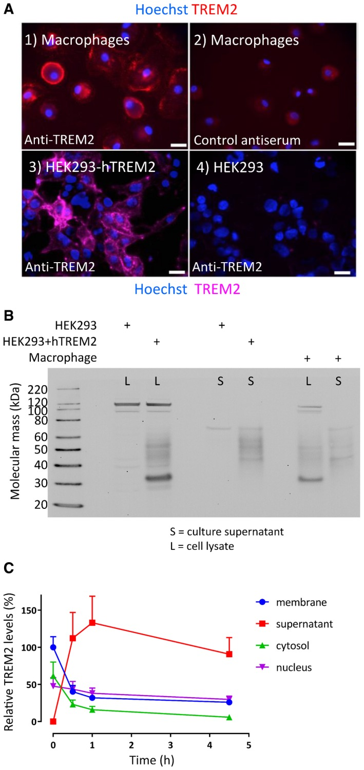 TREM 2 expression, glycosylation and proteolysis Surface TREM2 was detected on non‐permeabilised primary human macrophages labelled with anti‐TREM2 polyclonal antiserum (1, red), but not a control antiserum (2) and by live cell immunostaining of HEK293 stably transfected with wild‐type hTREM2 (3, pink; nuclei stained with Hoechst) but not on parental HEK293 (4). Surface immunolocalisation was also observed. Scale bars = 20 μm. Western blots of lysates (L) and supernatants (S) for hTREM2 from parental HEK293 vs. HEK293+hTREM2 cells showed distinct isoforms of TREM2. The cell lysate (HEK293+hTREM2, L) yielded an immature glycoform at 35 kDa with a less intense smear up to 50 kDa. This smear was the predominant species in the supernatant (HEK293+hTREM2, S). Similar distributions of TREM2 were seen in primary human macrophages (Macrophage, L and S). Subcellular fractionation of macrophages over a time course revealed the fate of surface‐biotinylated TREM2 (membrane‐associated in blue circles), indicating that most protein was shed into the supernatant (red squares), with a half time of