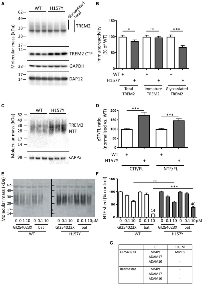 The disease‐linked H157Y variant of TREM 2 is shed more rapidly than wild‐type TREM 2 Western blot for TREM2 in lysates of HEK293 cells transiently expressing either wild‐type (WT) or the H157Y variant protein ( N = 3): levels of immature TREM2 (major band at 35 kDa) were unchanged by the H157Y substitution; however, total levels of the variant were reduced as compared to WT because of a more marked reduction in the levels of the glycosylated isoform. The proteolytic cleavage of TREM2 generated a truncated C‐terminal fragment (CTF) that was more abundant in lysates from cells expressing H157Y TREM2. GAPDH was the loading control; DAP12 was co‐expressed with TREM2. Molecular mass markers in kDa. Quantitation of the full‐length TREM2 isoforms as shown in panel (A) (data plotted as mean ± SEM; N = 12). Western blot for the shed TREM2 NTF from the conditioned medium of HEK293 cell cultures ( N = 3): levels of H157Y TREM2 NTF were higher than WT. A secreted fragment of the amyloid precursor protein (sAPPa) was the loading control. Molecular mass markers in kDa. The proteolytic fragments of TREM2 as shown in panel (A) (CTF, N = 3) and panel (C) (NTF, N = 15) were corrected for the total full‐length TREM2 (FL) from each cell lysate: the levels of the shed N‐terminal fragment (NTF) of TREM2 were higher in cells expressing the H157Y variant as compared to WT. Data plotted as mean ± SEM. Western blot for TREM2 from the conditioned medium of HEK293 cell cultures treated with varying concentrations of either GI254023X or batimastat (bat): inhibition of TREM2 NTF shedding by GI254023X was equivalent for both variant and WT TREM2; however, more shedding was observed at the higher concentration of batimastat for H157Y TREM2 as compared to WT. Molecular mass markers in kDa. Quantification of total TREM2 shed from HEK293 cells as shown in panel (E) ( N = 7). Maximal concentrations of GI254023X blocked shedding equally for WT and variant TREM2. Batimastat‐resistant shedding was more 
