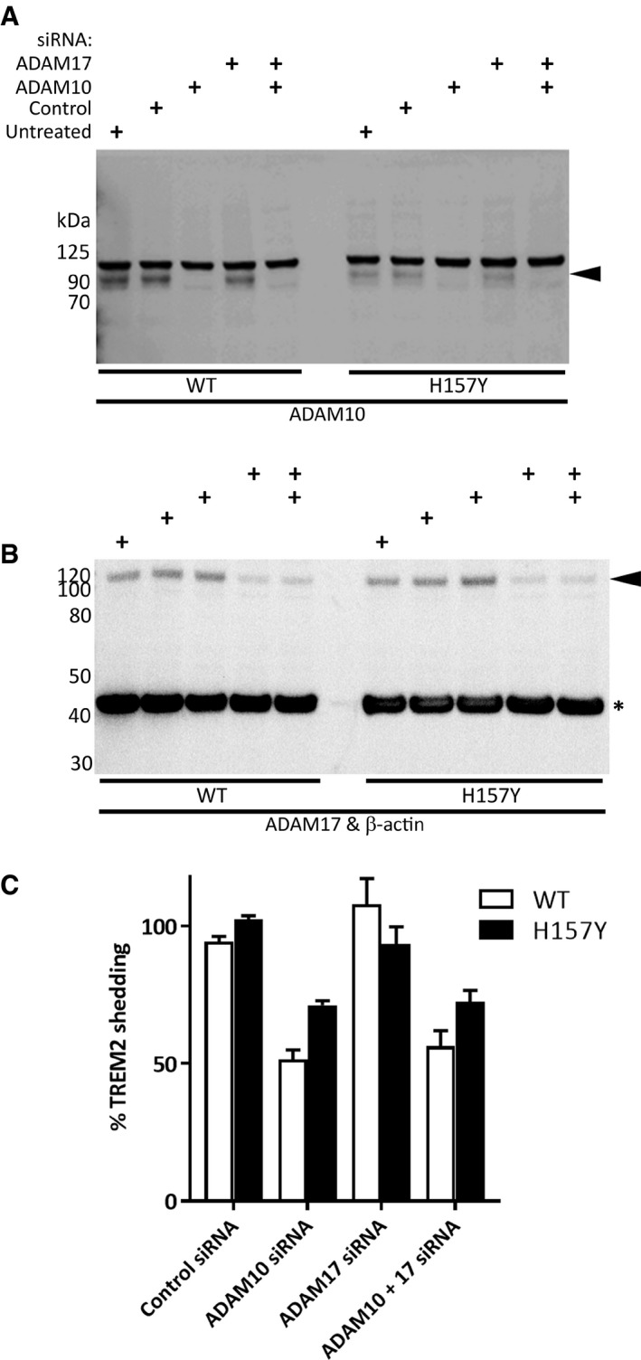 Knock‐down of ADAM 10 is less effective at reducing the shedding of H157Y TREM 2 Western blot of HEK293 cells for ADAM10 (A) or ADAM17 and reprobed for β‐actin (B) confirmed siRNA‐mediated knock‐down of target proteins (arrowheads). siRNA pools, or vehicle, added to cells as indicated. β‐actin (asterisk) was the loading control. Quantitation of WT and H157Y (SEM error bars) TREM2 NTF in the conditioned media of HEK293 cells as compared to untreated cells measured by MSD assay ( N = 8): ADAM10 siRNA reduced shedding whether applied alone or in combination with ADAM17 siRNA. ADAM17 siRNA was ineffective. Fractional inhibition of shedding was greatest for WT TREM2 using ADAM10 siRNA. Source data are available online for this figure.