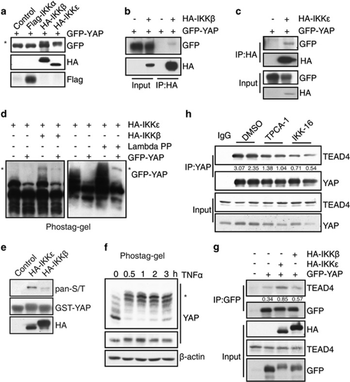 IKKβ and IKKε phosphorylate YAP. ( a ) 293T cells were co-transfected with <t>GFP-YAP</t> and Flag-IKKα, HA-IKKβ or IKKε. The cell lysates were analyzed by western blot with indicated antibodies. The asterisk showed the shifted band ( b , c ) 293T cells were co-transfected with GFP-YAP and HA-IKKβ or IKKε. Cell lysates were immunoprecipitated with indicated antibodies and analyzed by western blot. ( d ) 293T cells were transfected with GFP-YAP and HA-IKKβ or IKKε. The cell lysates were analyzed by phos-tag gel western blot. The asterisk showed the phosphorylated band. ( e ) The recombinant GST-YAP protein was incubated with immunoprecipitated HA-IKKβ or IKKε in phosphorylation buffer. Reactions were subjected to electrophoresis and immunoblotted with antibody against pan-phosphorylated serine/threonine (S/T). ( f ) MCF7 cells were treated with TNFα for indicated times, the cells were then lysed for phos-tag gel western blot. The asterisk showed the phosphorylated band. ( g ) 293T cells were transfected with GFP-YAP and HA-IKKβ/ε. Cell lysates were immunoprecipitated with GFP antibody followed by immunoblotting with <t>TEAD4</t> antibody. ( h ) MCF7 cells were treated with 10 μ M TPCA-1 or 10 μ M IKK-16 for 12 h. Then endogenous YAP was immunoprecipitated and followed by immunoblotting with TEAD4 antibody.
