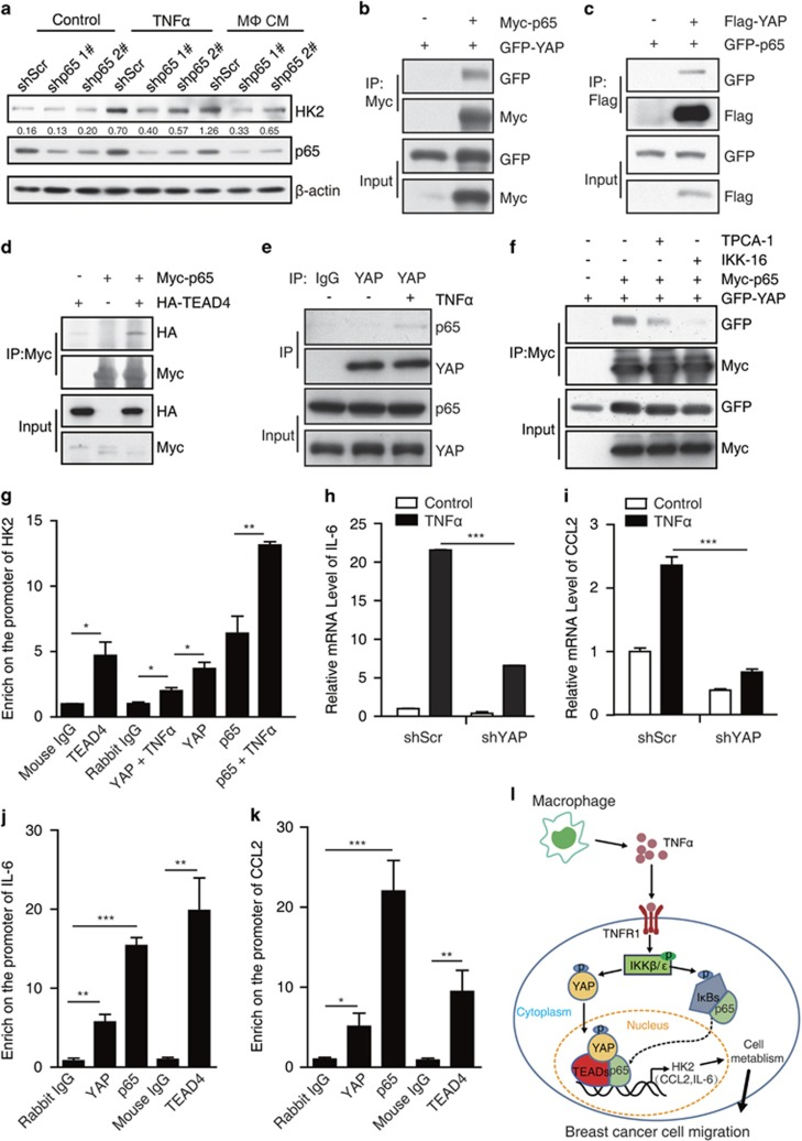YAP-TEAD and p65 synergistically regulate the expression of HK2. ( a ) MCF7 cell lines stably expressing shRNA (1# and 2#) targeting p65 were treated with control or 10 μ M TNFα or macrophage CM for 24 h, p65 knockdown efficiency and HK2 protein level were confirmed by western blot. ( b ) 293T cells were co-transfected with GFP-YAP and Myc-p65. Cell lysates were immunoprecipitated with Myc antibody and then analyzed by western blot. ( c ) 293T cells were co-transfected with GFP-p65 and Flag-YAP. Cell lysates were immunoprecipitated with Flag antibody and then analyzed by western blot. ( d ) 293T cells were transfected with Myc-p65 and HA-TEAD4. Immunoprecipitation of Myc-p65 and co-immunoprecipitation of HA-TEAD4 were detected by western blot. ( e ) MCF7 cells were treated with 10 μ M TNFα for 12 h, cell lysates were immunopreipitated with rabbit IgG or YAP antibody, the endogous co- immunopreipitated p65 was measured by immunoblotting. ( f ) 293T cells were co-transfected with GFP-YAP and Myc-p65. After transfection, the cells were treated with 10 μ M TPCA-1 or 10 μ M IKK-16 for followed 18 h, Myc-p65 was immunoprecipitated with Myc antibody and the co-immunoprecipitated GFP-YAP was determined by western blot. ( g ) MCF7 cells were treated with 10 μ M TNFα for 12 h. The cell lysates were used for ChIP analysis with antibody against TEAD4, YAP or p65. The binding of TEAD4, YAP or p65 on HK2 promoter were detected by real-time PCR. ( h , i ) Control and shYAP MCF7 cells were treated with TNFα for 12 h. The mRNA levels of CCL2 ( h ) and IL-6 ( i ) were analyzed by real-time PCR. ( j , k ) MCF7 cells were treated with 10 μ M TNFα for 12 h. Then, the cell lysates were used for ChIP analysis with antibody against TEAD4, YAP or p65. The binding of TEAD4, YAP or p65 on CCL2 or IL-6 promoter were detected by real-time PCR. ( l ) The model of YAP/TEAD/p65 interact with each other to synergistically regulate gene transcription and breast cancer cell migration under TNFα treat