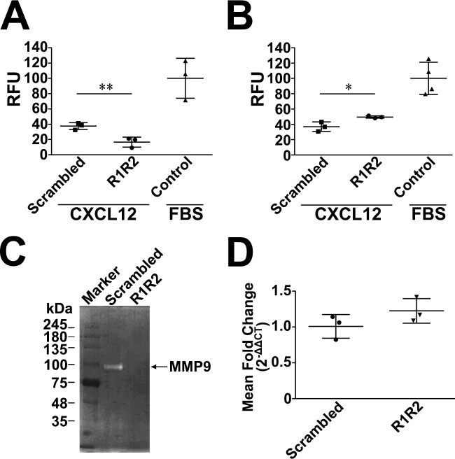 R1R2 impairs the invading capacity of fibrocytes through the BM by reducing the proteolytic activity of <t>MMP-9.</t> (A, B) CD45 + , type I collagen + , and CXCR4 + fibrocytes isolated from bleomycin-treated lungs (14 days) were seeded in the upper chamber and treated with R1R2 or the scrambled peptide (1000 nM) for 24 h. CXCL12 (20 ng/mL) or 10% fetal bovine serum (FBS) were added in the bottom wells. CXCL12-induced fibrocyte invasion through Matrigel (A). Data are expressed as relative fluorescence units (RFU). The invasive capacities through Matrigel-coated inserts between R1R2- and scrambled peptide-treated fibrocytes are shown. Results were normalized for FBS-induced fibrocyte invasion. ** P