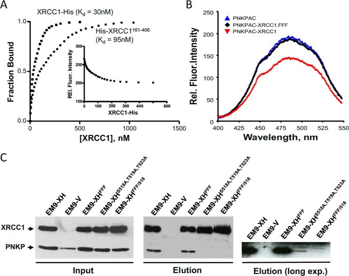 """The RIR motif mediates the phosphorylation-independent interaction with PNKP. A , phosphorylation-independent interaction of PNKP with full-length and truncated XRCC1. Acrylodan-labeled PNKP was excited at 380 nm, the relative fluorescence intensities were monitored at 485 nm (the data for XRCC1-His is provided in the inset ) as a function of full-length XRCC1-His (■) or truncated His-XRCC1 161–406 (●). The concentrations of PNKP-AC used were 20 and 80 n m with full-length XRCC1, and truncated His-XRCC1 161–406 , respectively. A representative plot of the fraction of PNKP-AC bound versus XRCC1 concentration is shown. The K d values reported represents the mean ± S.E. ( n = 3). B , mutation of the phenylalanine motif prevents phosphorylation-independent interaction of XRCC1 with PNKP, in vitro . PNKP-AC (80 n m ) was excited at 380 nm, and the emission fluorescence was measured between 400 and 550 nm. Note that the emission peak was ∼490 nm and was quenched only by wild-type XRCC1 and not by His-XRCC1 FFF mutant. Data are based on three experiments using varied concentrations of the triple mutant. The scans shown represent data for a 1:1 molar ratio for PNKP to wild-type XRCC1 and a 1:6 molar ratio of PNKP to XRCC1 FFF . C , cell extract from EM9 cells transiently transfected with pcD2E-PNKP and either empty pcD2E vector ( EM9-V ) or a pCD2E expression construct encoding full-length XRCC1-His ( EM9-XH ), XRCC1-His FFF ( EM9-XH FFF ), XRCC1-His S518A/T519A/T523A ( EM9-XH S518A/T519A/T523A ), or XRCC1-His FFF/S518A/T519A/T523A ( EM9-XH FFF/518 ) was incubated with nickel-nitrilotriacetic acid-agarose and histidine-tagged protein complexes recovered as described under """"Experimental procedures."""" Aliquots of the column input and eluate were fractionated by SDS-PAGE and immunoblotted with anti-XRCC1 and anti-PNKP antibody. The gel on the right is an overexposure of the PNKP blot in the eluate sample."""