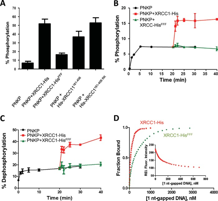 The conserved XRCC1 phenylalanine motif is required for the phosphorylation-independent stimulation of PNKP activity. A , stimulation of PNKP DNA kinase activity. 0.5 μ m PNKP was incubated in the presence of [γ- 32 P]ATP with 10 μ m oligonucleotide substrate and 4 μ m XRCC1-His, XRCC1-His FFF , His-XRCC1 161–406 , or His-XRCC1 161–406-RK for 2 min at 37 °C. The amount of radiolabeled 5′-phosphorylated 24-mer oligonucleotide was then quantified by gel electrophoresis and autoradiography. Data are the mean ± S.D. of three independent experiments. B , stimulation of PNKP DNA kinase enzyme-product turnover. DNA kinase reactions (50 μl) containing 2 μ m 1-nt gapped oligonucleotide substrate and 0.2 μ m PNKP were conducted as above in the absence of XRCC1 for 20 min and XRCC1-His or XRCC1-His FFF then added to 0.8 μ m for a further 20 min. Phosphorylated oligonucleotide product was quantified at the indicated times, as above. Data are the mean ± S.D. of three independent experiments. C , stimulation of PNKP DNA phosphatase activity. DNA phosphatase reactions (30 μl) containing 0.33 μ m 1-nt gapped oligonucleotide substrate and 0.86 μ m PNKP were incubated in the absence of any XRCC1 protein for 20 min and then, where indicated, in the additional presence of 1.65 μ m XRCC1-His or XRCC1-His FFF for a further 20 min. 3′-Dephosphorylated oligonucleotide product was quantified at the indicated times, as above. Data are the mean ± S.D. of three independent experiments. D , Interaction of XRCC1-His (■) and XRCC1-His FFF (●) with 1-nt gapped DNA. Proteins (30 n m ) were excited at 295 nm and the fluorescence intensity at 340 nm was monitored as a function of added 1 nt-gapped DNA substrate (see inset for data with XRCC1-His). The fraction bound, i.e. relative fluorescence ( Rel. Fluor .), versus ligand concentration is plotted.