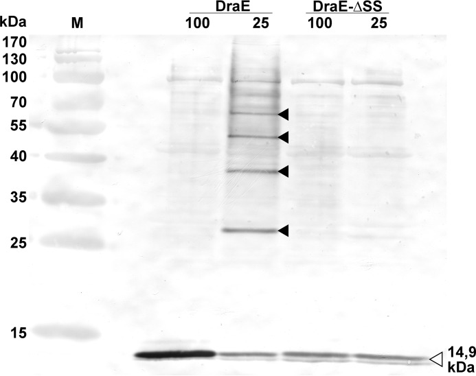 Western blot detection of potential DraE and DraE-ΔSS oligomers in the periplasmic fractions isolated from E. coli BL21(DE3)/pET30b-sygDraBE and BL21(DE3)/pET30b-sygDraBE-ΔSS strains, respectively. Samples in lanes 100 and 25 were incubated with Laemmli buffer at 100 and 25 °C, respectively, followed by electrophoresis (SDS–15% polyacrylamide gel). The open and filled arrowheads denote monomeric fully unfolded and oligomeric SDS-resistant forms of DraE, respectively. Immunodetection was performed using primary rabbit polyclonal anti-DraE antibodies, secondary goat labeled with horseradish peroxidase anti-rabbit antibodies and diaminobenzidine as a reaction substrate. Lane M contained a PageRuler prestained protein ladder (Fermentas), which included 10-, 15-, 25-, 35-, 40-, 55-, 70-, 100-, 130-, and 170-kDa compounds.