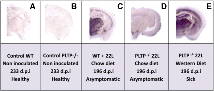 The PrP Sc amyloid load is substantially decreased in PLTP −/− mice fed a standard chow diet. A, B: PET blot analyses of frontal tissue sections of WT or PLTP −/− mice not inoculated with prions and euthanized at 233 days (dpi) while they were healthy. C–E: PET blot analyses of frontal tissue sections of WT or PLTP −/− mice inoculated with 22L prion strain, fed a standard chow diet or Western-type cholesterol-rich diet, and all euthanized on the same day (196 dpi), when they were in an asymptomatic stage (C, D) or while they were at the terminal stage of the disease (E). The SAF84 antibody was used to detect PrP SC proteins and the Vectastain ABC-AmP kit (Vector Laboratories) was used to reveal antibody binding.