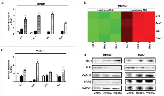 Virulence-specific gene expression confirmed through qPCR and Western blot in BMDM and THP-1 macrophages infected with hypo- and hypervirulent M.tb . A. Relative mRNA expression (fold change) of selected differentially expressed genes induced by BMDMs following infection with hypervirulent M.tb after 12 h of infection as analyzed through qPCR (n = 4). B. Corresponding heatmap as generated by RNAseq under the same infection conditions in BMDMs (Red-Upregulation, Green-downregulation), Rep = Replicate. C. Relative mRNA expression (fold change) of the same virulence-specific genes induced by THP-1s following infection with hypervirulent M.tb after 12 h of infection as analyzed through qPCR (n = 4). D. Western blot of corresponding proteins expressed by BMDMs and THP-1s under the same infection conditions, GAPDH was used as a loading control (n = 4), Uninf. = Uninfected BMDM and THP-1, Hypov.= Hypovirulent infection, Hyperv. = Hypervirulent infection. *p