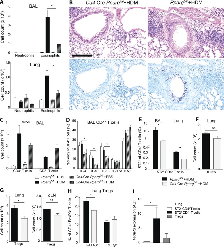 PPARγ in T cells mediates development of pulmonary allergic inflammation. (A–I) Pparg fl/fl and Cd4 -Cre Pparg fl/fl mice were sensitized intratracheally with 10 µg HDM on d 0 and subsequently challenged intratracheally with 10 µg HDM or PBS on days 7–11. Animals were analyzed on day 14. Flow cytometry was used to characterize and quantitate BAL and lung cell populations, including eosinophils (A) and neutrophils (B). (B, top) Hematoxylin and eosin histology. (B, bottom) PAS and Alcian blue histology. CD4 + and CD8 + T cells (C) and BAL CD4 + T cells (D) were restimulated with PMA/ionomycin for 4 h. Shown is the frequency of CD4 + T cells that produced the indicated cytokines. The data presented are pooled from two independent experiments ( n = 5–11/group). Shown are ST2 + CD4 + Th2 cells (E), lin − CD90 + CD127 + CD25 + ILC2s (F), Foxp3 + CD4 + Treg cells (G), and GATA3 + and RORγt + cells (H) among CD4 + FoxP3 + Treg ( n = 4–6/group). (I) DEREG mice were treated with HDM as described in this legend. GFP + CD4 + Treg, ST2 + CD4 + Th2, and ST2 − CD4 + non-Th2 cells were sorted on day 14 by flow cytometry. Shown is the Pparg mRNA expression measured by quantitative PCR ( n = 3/group). The data are representative of three experiments. Data are means ± SEM and the sample size ( n ). The Student's t test (unpaired) was used. *, P