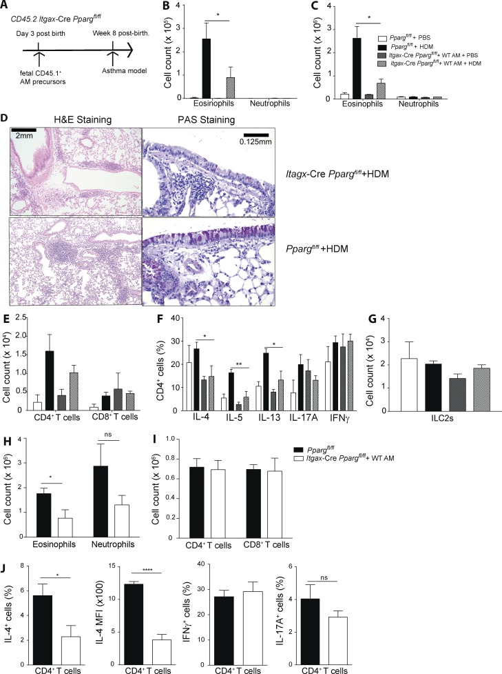 PPARγ in DCs modulates Th2 polarization in vivo . (A) The generation of Cd11c -Cre Pparg fl/fl mice containing WT AMs is shown schematically. Fetal (E17.5) lung AM precursors from WT CD45.1 + C57BL/6 embryos were transferred intranasally to neonatal (day 3 after birth) Pparg fl/fl and Cd11c -Cre Pparg fl/fl mice. After 8 wk, animals showed a reconstitution of Cd11c -Cre Pparg fl/fl mice with mature WT AMs, and they were subsequently used in HDM or OVA/alum asthma protocols, as described in Fig. 1 and Fig. S1. (B) Animals were sensitized with HDM and challenged with HDM or PBS with total cell numbers in the BAL (B) and lung (C) of eosinophils and neutrophils ( n = 4–8/group). (D, left) Hematoxylin and eosin (H E) histology. (D, right) PAS and Alcian blue histology. (E) Representative sections of total cell numbers of CD4 + and CD8 + T cells in the BAL. (F) BAL CD4 + T cells were restimulated with PMA/ionomycin for 4 h, and intracellular cytokine production was quantified, with the frequency of indicated cytokines ( n = 4–8/group). (G) Total number of lung ILC2s are shown. (H–J) WT and Cd11c -Cre Pparg fl/fl mice were sensitized with OVA/alum i.p. and challenged with OVA intratracheally (H). Shown are total cell numbers in the lung of eosinophils and neutrophils (I) and CD4 + and CD8 + T cells (J). (J) BAL CD4 + T cells were restimulated with PMA/ionomycin for 4 h, and intracellular cytokine production was quantified. Frequency of IFN-γ + , IL-17A + , and IL-4 + cells as well as the MFI for IL-4 ( n = 5/group). The data are representative of two experiments for each panel and are means ± SEM, with the sample size ( n ). The Student's t test (unpaired) was used. *, P