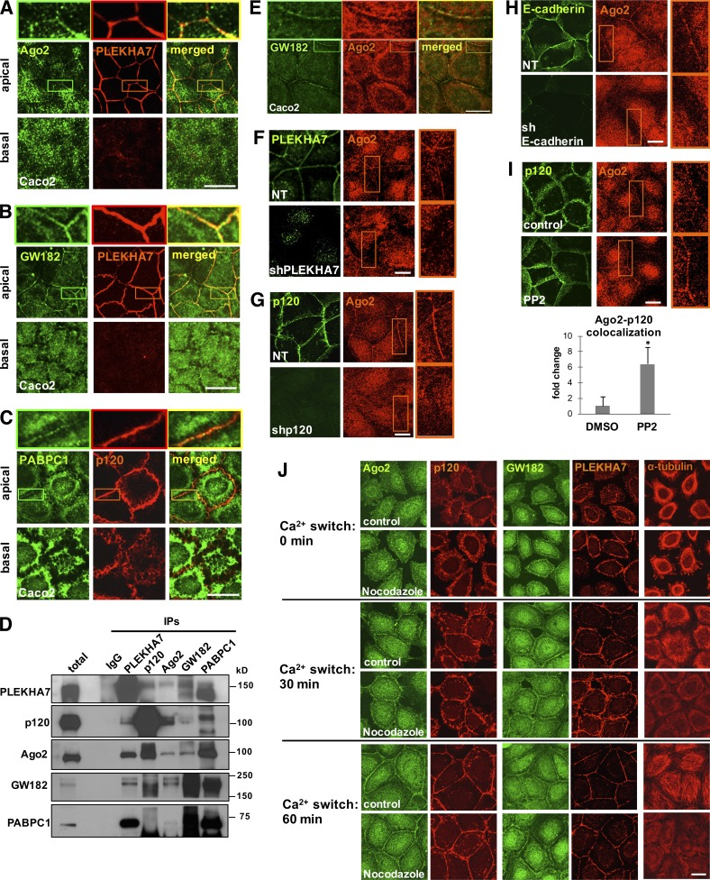 Cadherin complexes recruit RISC to the apical junctions of polarized epithelial cells. Caco2 cells were grown to polarize and subjected to immunofluorescence for PLEKHA7 or p120 and the core proteins of the RISC complex Ago2 (A), GW182 (B), and PABPC1 (C). Images were obtained by confocal microscopy, and image stacks were acquired across the entire polarized monolayer; representative apical-basal images are shown. Enlarged parts of images on top of each stack indicate areas of cell–cell contact. (D) Western blots of PLEKHA7, p120, Ago2, GW182, and PABPC1 IPs of Caco2 cells for the same markers. IgG is the negative control. Molecular masses (kD) are indicated on the right. (E) Confocal microscopy images after immunofluorescence of Caco2 cells for GW182 and Ago2. Enlarged parts of images on top indicate areas of cell–cell contact. (F) Immunofluorescence of control (nontarget; NT) or PLEKHA7 knockdown (shPLEKHA7) Caco2 cells for Ago2, costained for PLEKHA7. PLEKHA7 background intracellular staining is an artifact of paraformaldehyde fixation. (G) Immunofluorescence of control (NT) or p120 knockdown (shp120) Caco2 cells for Ago2, costained for p120. (H) Immunofluorescence of control (NT) or E-cadherin knockdown (shE-cadherin) Caco2 cells for Ago2, costained for E-cadherin. (I) Caco2 cells treated with either vehicle control (DMSO) or the Src inhibitor PP2 were costained by immunofluorescence for p120 and Ago2. Colocalization of the Ago2 and p120 signals (bottom) was calculated using the Manders coefficient and expressed as fold change of the DMSO control (mean ± SD from n = 3 independent experiments; *, P