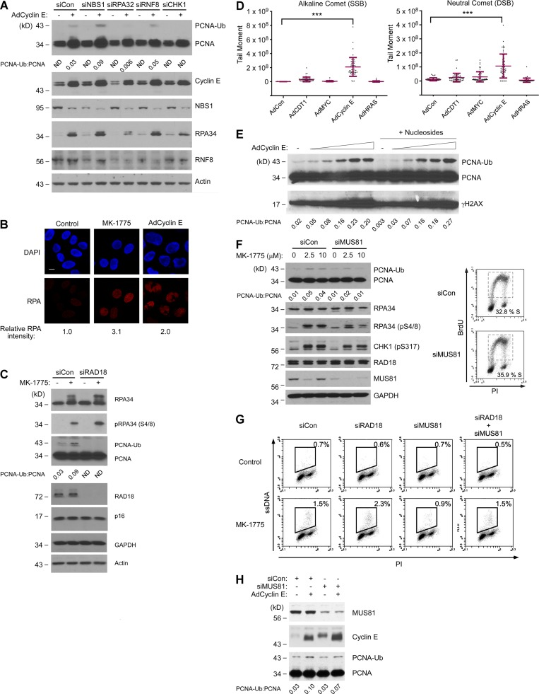 CDK2-induced PCNA monoubiquitination is p95/NBS1-independent but requires MUS81. (A) NHFs were transfected with siNBS1, siRPA32, siRNF8, siCHK1, or control nontargeting siRNA. The resulting cultures were infected with AdCyclin E or control adenovirus, and 48 h later, cells were harvested for SDS-PAGE and immunoblot analysis. (B) Replicate cultures of NHFs were infected with AdCyclin E for 24 h, treated with MK-1775 for 5 h, or left untreated for controls. The resulting cells were fixed, stained with anti-RPA 32 and DAPI, and analyzed by confocal microscopy. The images represent representative fields of RPA- and DAPI-stained nuclei. At least 100 cells were scored for each experimental condition. Bar, 10 µm. (C) NHFs were transfected with siRAD18 or nontargeting siRNA and then treated with MK-1775 for 5 h. Cells were harvested and analyzed by SDS-PAGE and immunoblotting with the indicated antibodies. (D) NHFs were infected with the indicated adenoviruses for 48 h. Nuclei from the resulting cultures were analyzed using alkaline and neutral comet assays. 50 tail moments were measured for each experimental condition. To determine the statistical significance of the differences in single-strand break (SSB) and DSB levels, we performed ANOVA between groups followed by Tukey's multiple comparison of means test. Results of the Tukey test indicated significant differences between AdCon and AdCyclin E–overexpressing cells (P