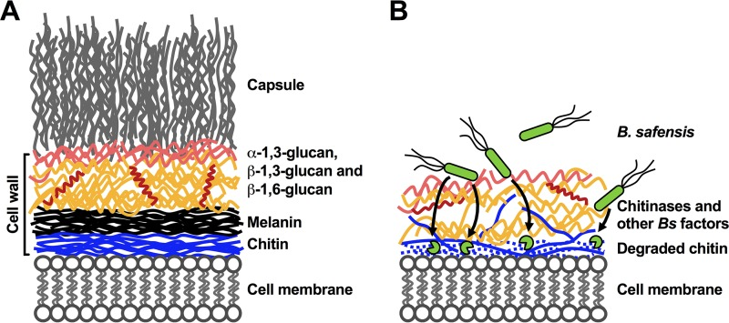 Proposed model depicting the impact of B. safensis on fungal cell walls. (A) Schematic view of the C. neoformans cell membrane and cell wall organization, with attached capsule polysaccharide. α-1,3-glucan is shown in light red, β-1,3-glucan is shown in orange, and β-1,6-glucan is shown in dark red. (B) Following direct cell contact, the environmental bacterium B. safensis produces chitinases and other factors which degrade fungal cell wall chitin and influence the interspecies interaction. The destabilization of the fungal cell wall architecture does not lead to fungal cell death but prevents proper anchoring of melanin and polysaccharide capsule components, thereby disarming the virulence factors of the fungal pathogen.