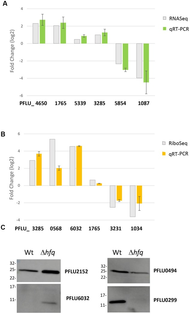 Validation of candidate loci from the global analysis datasets. (A) Comparative mRNA abundance data for selected loci from the hfq transcriptome. (B) Comparative mRNA abundance data for selected loci from the hfq translatome. In each case, log 2 fold-change values are plotted for the hfq mutant versus WT SBW25. qRT-PCR values are presented alongside the corresponding fold-change observed in (A) the RNA-Seq experiment and (B) the Ribo-Seq experiment. The experiments were repeated at least twice. Data represents mean ± SD. (C) Western blots of selected flag-tagged proteins whose abundance changes in the Hfq proteome. The experiments were repeated at least twice. The representative blots are presented.