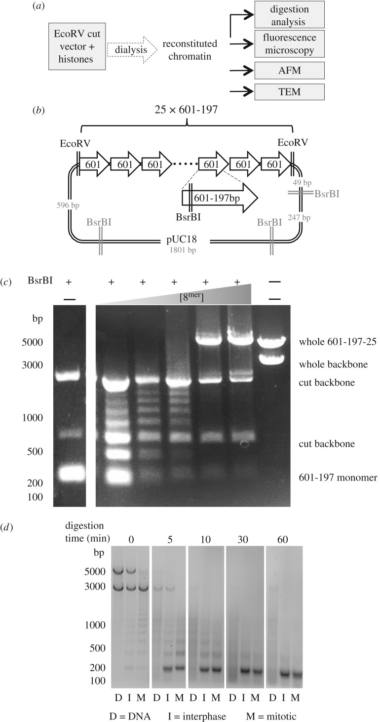 Purified histones can be used to reconstitute chromatin on the 601-197-25 array. ( a ) Scheme of chromatin analysis. After reconstitution the quality of chromatin was assessed by digestion with BsrBI and micrococcal nuclease. Fully assembled chromatin was subjected to analysis by a variety of microscopy methods. ( b ) Vector containing 601-197-25 array. The array is flanked by EcoRV sites. Each 601 monomer contains a BsrBI site. ( c ) BsrBI digestion was carried out on chromatin assembled with an increasing ratio of histones : 601 monomers. Unassembled array was digested into 197 fragments. The presence of a nucleosome on a 601 monomer led to the protection of the BsrBI site, generating longer fragments. When fully saturated the array could no longer be digested. ( d ) Micrococcal nuclease digestion of unreconstituted DNA and chromatin reconstituted with interphase and mitotic derived histones. The presence of an approximately 200 bp ladder confirms the presence of nucleosomes.