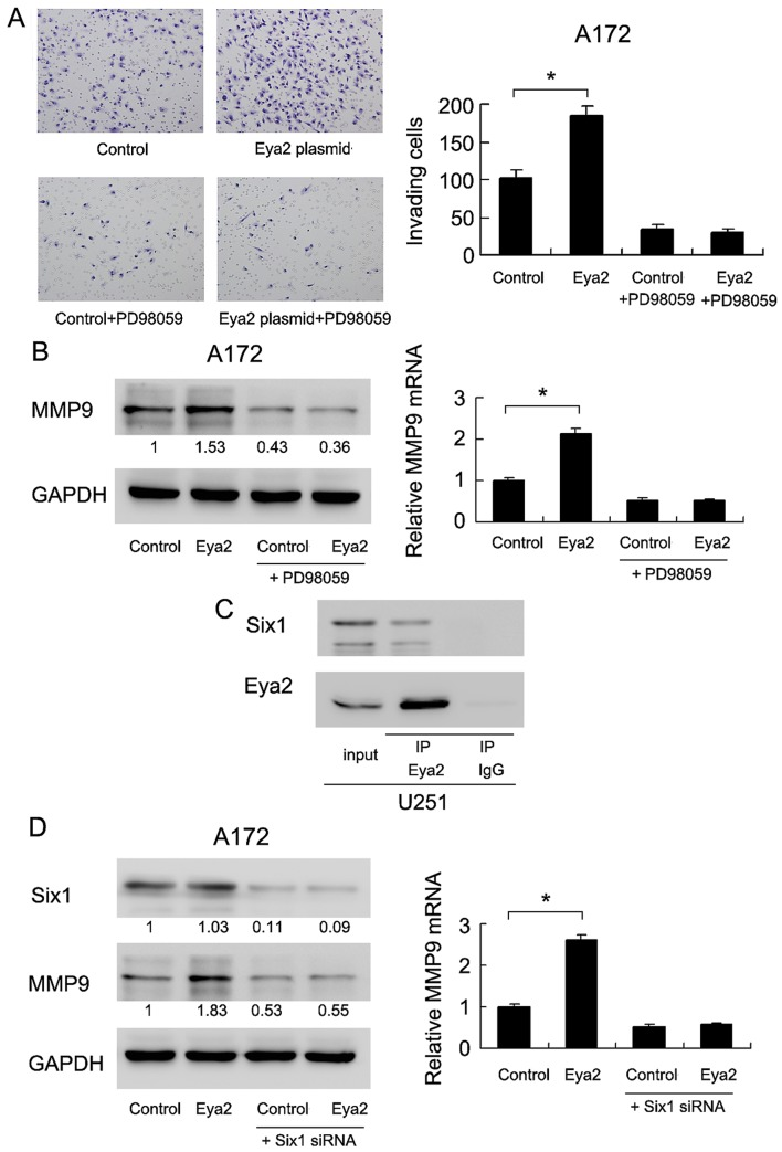 Eyes absent (Eya) 2 interacts with Six1 and regulates ERK signaling. (A) ERK inhibitor, PD98059, blocked the promoting effect of Eya2 on A172 invasion. * P