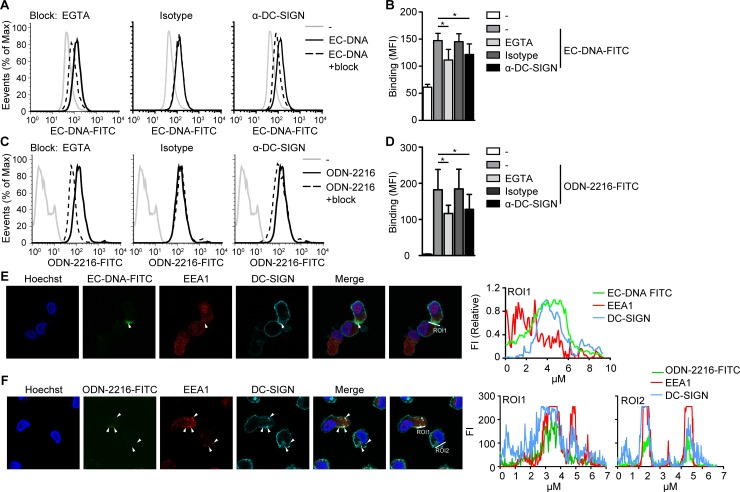 Dendritic cells interact with both class A ODN and microbial DNA via DC-SIGN. ( A - D ). Flow cytometry analysis of monocyte-derived DCs incubated with EC-DNA-FITC ( A,B ) or ODN-2216-FITC ( C,D ) for 10 min in the presences or absence of EGTA, IgG1 isotype control or blocking antibodies directed against DC-SIGN. ( E , F ) Confocal imaging of EC-DNA-FITC (green, E ) or ODN-2216-FITC (green, F ), early endosome antigen 1 (EEA1, red), DC-SIGN (turquoise) and DNA (Hoechst, blue) in monocyte-derived DCs stimulated with EC-DNA-FITC ( E ) or ODN-2216-FITC ( F ). 10 μg/ml DNA or 5 μM ODN was used in all experiments. Data are collated (mean ± s.d.) of three ( B , D ) independent experiments with different donors or are representative of at least three ( A,C ) or two ( E,F ) independent experiments with different donors. *P