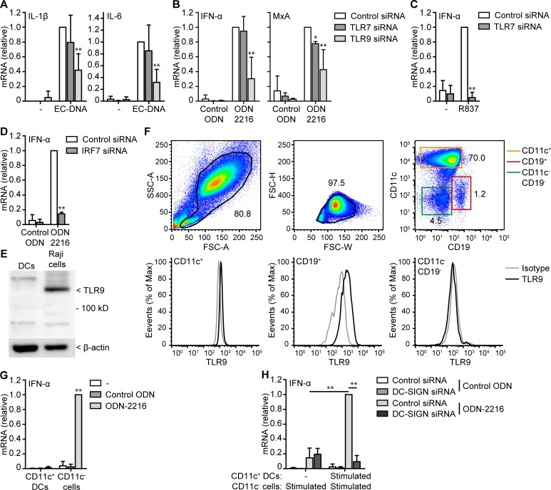 CD11c + DCs enhance IFN-α production of CD11c - cells via DC-SIGN. ( A-D ) mRNA expression of monocyte-derived DCs stimulated with EC-DNA ( A ), control ODN, ODN-2216 ( B,D ), or R837 ( C ) after treatment with control, TLR7, TLR9 ( A-C ), or IRF7 siRNA ( D ) was measured by real-time PCR, normalized to GAPDH and set as 1 in samples with control siRNA. ( E ) Immunoblot of monocyte-derived DCs or Raji cells whole cell lysate for TLR9. β-actin was used as loading control. ( F ) Analysis of TLR9 expression in monocyte-derived DC culture by flow cytometry. Number adjacent to gates indicates percentage of gated cells. ( G ) mRNA expression of sorted CD11c + DCs and CD11c - cells stimulated with control ODN or ODN-2216 was measured by real-time PCR, normalized to GAPDH and set as 1 in samples with ODN-2216 of CD11c - cells. ( H ) mRNA expression of sorted CD11c + DCs and CD11c - cells stimulated with control ODN or ODN-2216 after treatment with control or DC-SIGN siRNA. Sorted cells were stimulated for 1h, washed and combined for 5h before mRNA expression was measured by real-time PCR, normalized to GAPDH and set as 1 in samples with control siRNA. Cells were stimulated with 10 μg/ml DNA or 5μM ODN in all experiments. Data are collated (mean ± s.d.) of four ( A,B,G ), three ( H ) or two ( C,D ) independent experiments with different donors or are representative of four ( F ) or two ( E ) independent experiments with different donors. *P