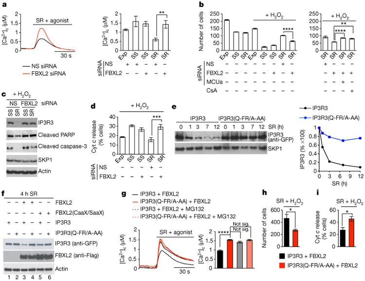 FBXL2-mediated degradation of IP3R3 controls Ca 2+ flux and sensitivity to apoptosis a , Concentrations of cytosolic Ca 2+ ([Ca 2+ ] c ) were measured with aequorin in response to agonist stimulation (ATP) in NHFs (passage 2 and 3) exponentially growing (Exp), serum-starved (SS), or re-stimulated with serum (SR), which were transfected with an siRNA targeting FBXL2 or a non-silencing (NS) siRNA. Left, two representative traces. Right, quantification of three independent experiments. P values were calculated by one-way ANOVA and multiple-comparisons test. Error bars indicate s.e.m. b-d , Apoptosis was evaluated after treatment with H 2 O 2 using automated nuclei count analysis of twenty randomly chosen fields following a 16 h treatment ( b ), immunoblot detection of cleaved PARP and cleaved caspase-3 following a 3 h treatment ( c ), and automated analysis of cells with released cytochrome c (Cyt c ) from 80 randomly chosen fields following a 3 h treatment ( d ). NHFs were transfected with the indicated siRNAs. Where indicated, cells were pre-treated for 30 min with cyclosporin A (CsA). P values were calculated by one-way ANOVA and multiple-comparisons test. Error bars indicate s.e.m. e , COS-7 cells were transfected with either GFP-tagged IP3R3 or GFP-tagged IP3R3(Q-FR/A-AA). 16 h post-transfection, cells were serum-starved for 48 h, and then re-stimulated with serum for the indicated times. Cells were harvested, and whole-cell lysates (WCLs) were immunoblotted as indicated. The graph shows the quantification of IP3R3 levels from two independent experiments. f , COS-7 cells transfected with the indicated constructs were serum-starved for 20 h and then re-stimulated with serum for 4 h. WCLs were immunoblotted as indicated. g , COS-7 cells transfected with the indicated constructs were serum-starved for 20 h, re-stimulated for 4 h with or without MG132, and treated with ATP. Left, representative traces show concentrations of cytosolic Ca 2+ measured with aequorin. Righ