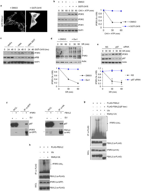 The degradation of IP3R3 is dependent on FBXL2 localization to cell membranes and on the segregase activity of p97 a , HeLa cells were transfected with GFP-tagged FBXL2 and then treated with either DMSO or GGTI-2418 for 16 h. Live cell imaging was carried out with an LSM510 confocal microscope using a 63× objective. Scale bars, 10 μm. b , NHFs were incubated with GGTi-2418 for 30 h and then with cycloheximide (CHX) and ATP. Cells were subsequently harvested at the indicated times for immunoblotting. The graph shows the quantification of IP3R3 levels from two independent experiments. c , NHFs (passage 3), HeLa and HEK293T cells were incubated with GGTi-2418 for the indicated times. Cells were subsequently harvested for immunoblotting. This experiment was performed once. d , NHFs (passage 3) were serum-starved for 72 h, treated with either DMSO or Eer1, and then re-stimulated with serum (SR) for the indicated times. The graph shows the quantification of IP3R3 levels from two independent experiments. The bracket on the right marks a ladder of bands which, presumably, are ubiquitinated species of IP3R3 that are not degraded when p97 is inhibited. e , During a 72 h serum starvation, NHFs (passage 3 and 4) were transfected with either an siRNA targeting p97 or a non-silencing siRNA (NS). Cells were subsequently stimulated with medium containing serum and harvested at the indicated time points for immunoblotting. The graph shows the quantification of IP3R3 levels from three independent experiments. Error bars indicate s.e.m. These results, together with those shown in d , are in agreement with the findings that IP3Rs are ubiquitinated while they are membrane-associated, and those showing that p97 promotes the degradation of IP3Rs 27 , 28 . Thus, we propose that, after its FBXL2-mediated ubiquitination, IP3R3 is extracted from cell membranes by the segregase activity of p97 to be degraded by the proteasome. f , HEK293T cells were transfected with either an empty vector (EV)