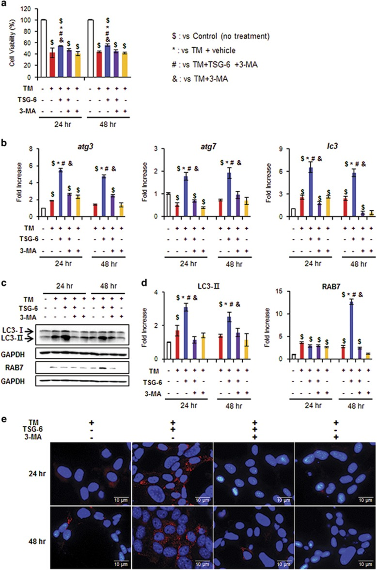 TSG-6 protects hepatocytes from tunicamycin-induced cell death by increasing autophagy influx. ( a ) Cell viability of AML12 cells, a normal murine hepatocyte cell line, treated with TSG-6 was analyzed using MTS assay. After being exposed to TM (5 ng ml −1 ) for 24 h, AML12 cells were treated with vehicle (TM), 3-MA (TM+3-MA) or TSG-6 with (TM+TSG-6+3-MA) or without 3-MA (TM+TSG-6) for 24 and 48 h. As a CON, AML12 cells were treated with equal volumes of vehicle without TM. The mean±s.e.m. results obtained from three identical experiments are plotted. ( b ) qRT-PCR analysis of atg3 , atg7 and lc3 in these cells. Data represent the mean±s.e.m. of three independent experiments. ( c ) Western blot assay and ( d ) cumulative densitometry analyses for LC3-II and RAB7 in these cell groups. GAPDH was used as an internal CON. Data shown represent one of three experiments with similar results, and the mean±s.e.m. results obtained from three identical experiments are shown (* P