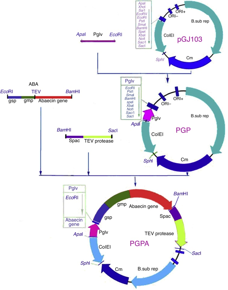 Construction of recombinant plasmid pGPA. After cloning using T vector, an intact plasmid including the promoter Pglv was inserted into plasmid pGJ103 (3.2 kb), resulting in the construction of pGP (3.45 kb). The plasmid containing the genes of abaecin and TEV protein, with gmp and gsp, was digested with Eco RI and Bam HI, while pGP was digested with Eco RI and Bam HI. The two digested products were linked by <t>T4</t> DNA ligase, yielding recombinant plasmid pGPA.