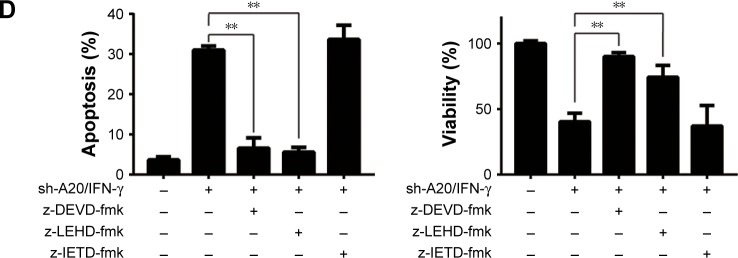 A20 knockdown increases the apoptosis induced by IFN-γ in HepG2 cells. Notes: ( A ) sh-NC and sh-A20 cells were treated with or without 100 ng/mL of IFN-γ for 24 h. Cells were then subjected to flow cytometry analysis using Annexin-V/propidium iodide staining. Quantification of apoptosis was derived from three independent experiments (right). ( B ) sh-NC and sh-A20 cells were treated with or without 100 ng/mL of IFN-γ for 24 h. Cellular lysates were subjected to Western blot analysis with the indicated antibodies. Graphs represent quantification of target protein bands relative to GAPDH. ( C ) sh-NC and sh-A20 cells were treated with or without 100 ng/mL of IFN-γ for 24 h. Cells were lysed and assayed for caspase-3, -8 and -9 activity. Graphs represent the mean ± SD of three independent experiments. ( D ) sh-A20 cells were incubated with 100 ng/mL of IFN-γ for 24 h after 1 h pretreatment with z-DEVD-fmk, z-LEHD-fmk and z-IETD-fmk, respectively. Cell viability (left) was determined by MTT assay and apoptosis (right) was determined by flow cytometry. The data are represented as the mean ± SD of three independent experiments. The significance was determined by the Student's t -test (** P