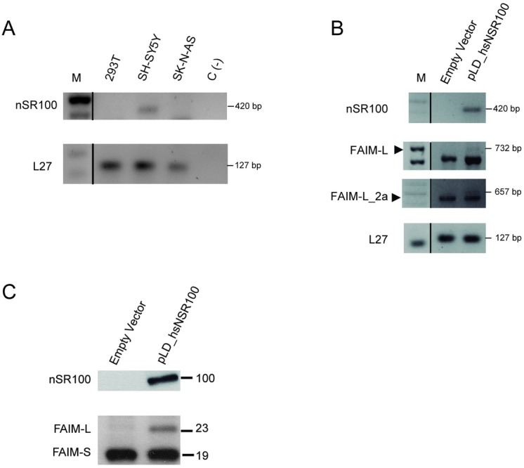 Overexpression of nSR100 induce FAIM-L_2a and FAIM-L in HEK293T cells. A:  nSR100 transcript was amplified by RT-PCR. In SH-SY5Y cells, a band of 420 bp was detected.  B:  RT-PCR in HEK293T cells after transient transfection with nSR100 using Lipofectamine 2000®. Transcripts of FAIM-L and FAIM-L_2a were observed at 732 bp and 657 bp bands. L27 was used as an internal control in all PCRs.  C:  Western blot analysis using anti-FAIM in HEK293T cells after transfection with nSR100 vector (pLD_hsnSR100). A band of 23 kDa (FAIM-L) was detected in nSR100 transfection conditions. As a negative control, we used an empty vector (n = 3).