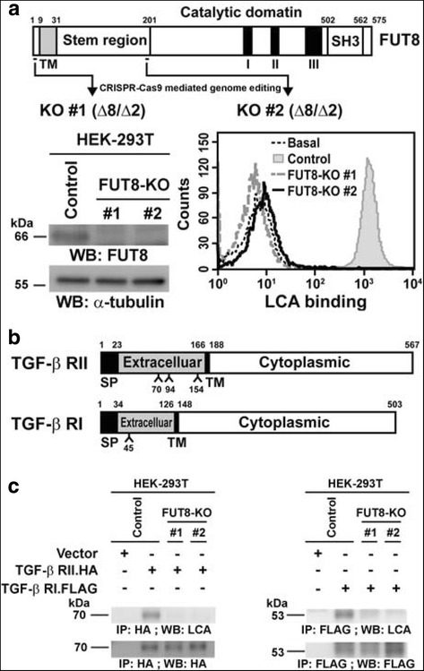 Transforming growth factor-β (TGF-β) receptor proteins I and II (RI and RII) are core fucosylated by fucosyltransferase 8 <t>(FUT8)</t> in HEK-293 T cells. a Establishment of FUT8-knockout (KO) HEK-293 T cells by <t>CRISPR-Cas9-mediated</t> genome editing. Two independent CRISPR-Cas9 clones targeting exon 3 or 6 of FUT8 were established (upper panel). Inactivation of FUT8 gene and consequent loss of core fucosylation were validated by western blot (lower-left panel) and LCA binding assay (lower-right panel). b Protein domain organization of TGF-β RI and RII. According to the Uniprot database ( http://www.uniprot.org ), potential N-linked glycosylation sites within TGF-β RII (Asn-70, 94, and 154) and RI (Asn-45) were marked. SP, signal peptide sequence; TM, transmembrane domain. c Core fucosylation of TGF-β RI and RII proteins were eliminated by FUT8 knockout. Recombinant TGF-β RI or RII proteins in the control or two FUT8-KO 293 T cell lines were probed with biotinylated Lens culinaris lectin (LCA), then detection with streptavidin-conjugated horseradish peroxidase. kDa, kiloDalton